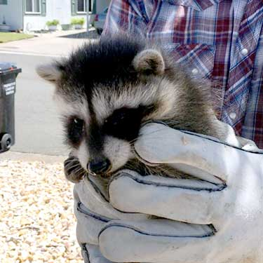 Raccoon Trapping Removal, Napa Valley, Wildlife Conflict Solutions